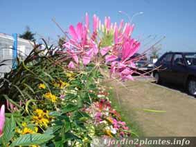 fleurs de cléome en plein été
