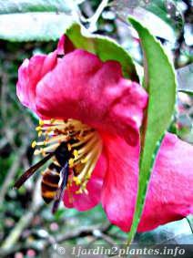 un frelon asiatique butinant une fleur de camelia