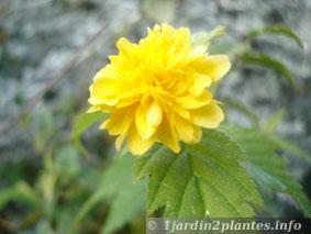 kerria japonica à fleurs doubles: kerria japonica 'pleniflora'