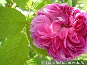 rosier-mousseux-pucelle-de-lilleg